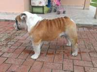 Hermoso bulldog ingles disponible para montas - Mascotas - Santa Cruz