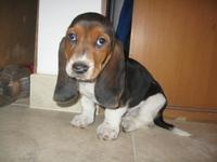 Busco Basset Hound (Hush Puppies) Cachorro - Animales en General - Puerto Montt