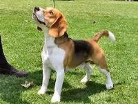 Busco Beagle Cachorra - Animales en General - Puerto Montt