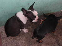 VENDO MASCOTITA  BOSTON TERRIER - Mascotas - Santo Domingo