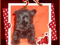 Súper Pet  tiene disponible cachorro scottish terrier  - Mascotas - Distrito Central