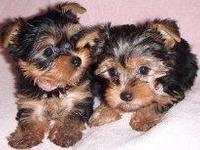Regalo Cachorros yorkshire terrier mini toy para navidad - Animales en General - Manatí